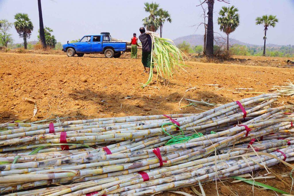 Farmers collect sugar cane in the field of Tela Village in Meikhtila Township.Photo: Chan Thar (Meiktila)