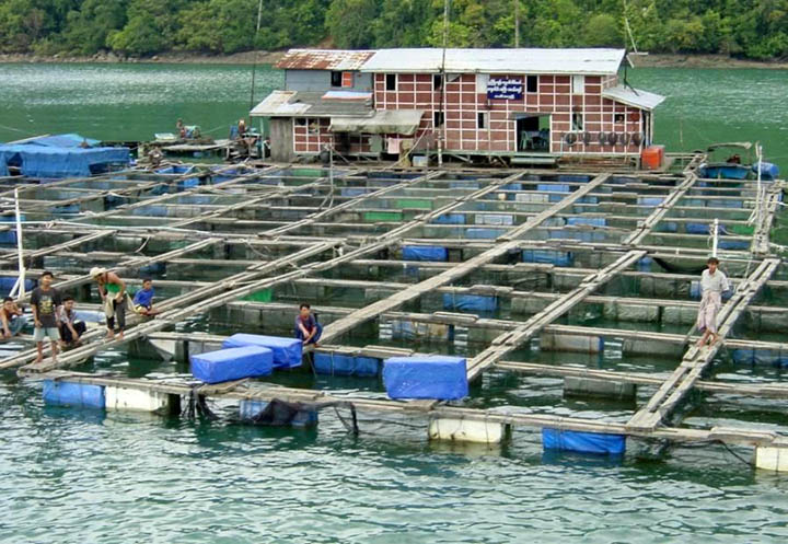 Fish are farmed in an artificial pond in Ayeyawady Region where fish and shrimp farming businesses are likely to receive funding as part of an EU aquaculture project. copy