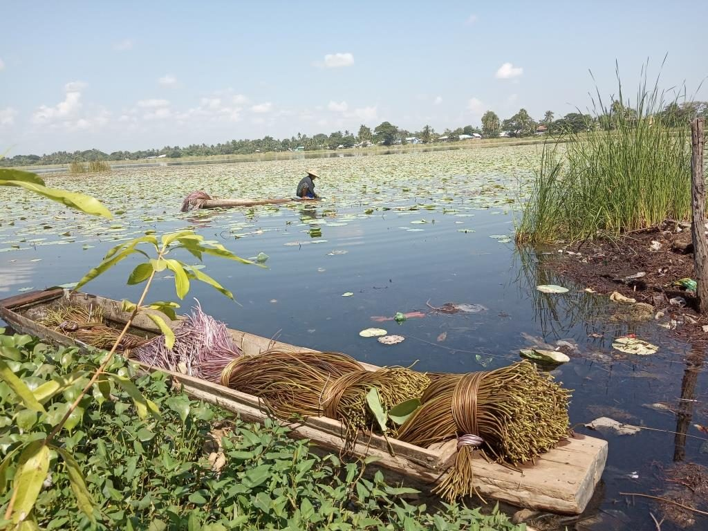 The Wetthe Lake located in Salin, Magway Region covered with different varieties of colorful lotus. Photo: Soe Moe Thu (Salin)