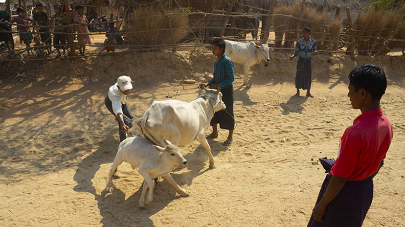 Veterinary officials vaccinate cattle in Meiktila Township.PHOTO: Chan Thar (Meiktila)