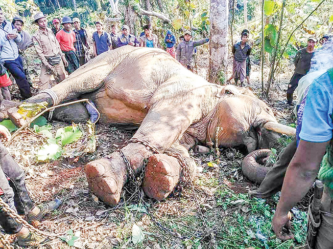 The musth elephant which killed three men was tranquilized and captured in Indaw yesterday. Photo:  Win Naing (Kachin Land)
