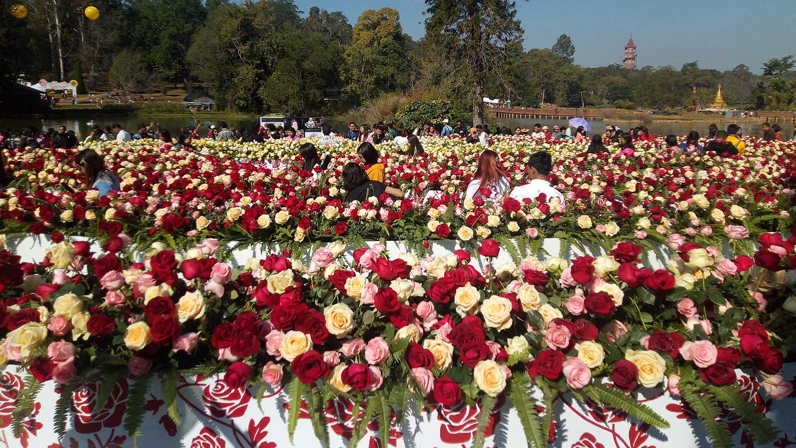 More than 600,000 flowering  plants are being showcased at the 14th PyinOoLwin flower festival inside the National Kandawgyi Gardens in PyinOoLwin. Photo: Thet Naing (Pyin Oo Lwin)