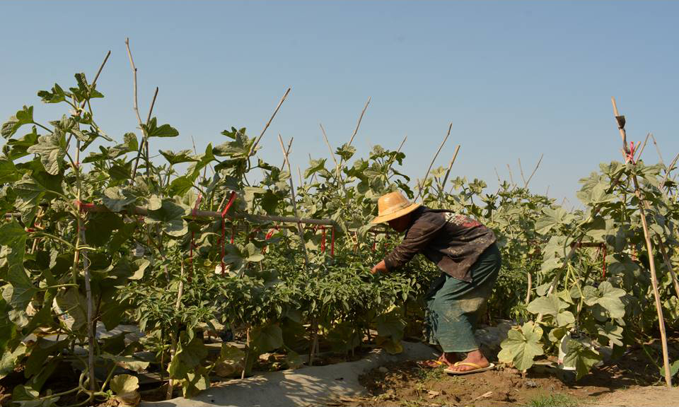 A farmer picks green chilli at a farm in ChaungU Township. Photo : Win Oo (Zayyartine)