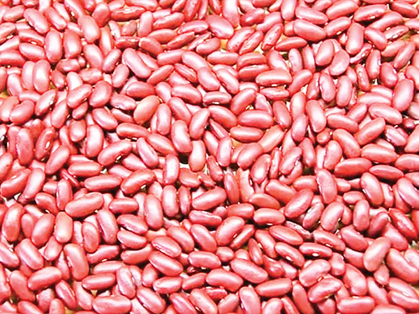 Kidney beans in Myanmar are grown in October and harvested in January and February.  Photo: Min Htet Aung (Mandalay Sub-Printing House)