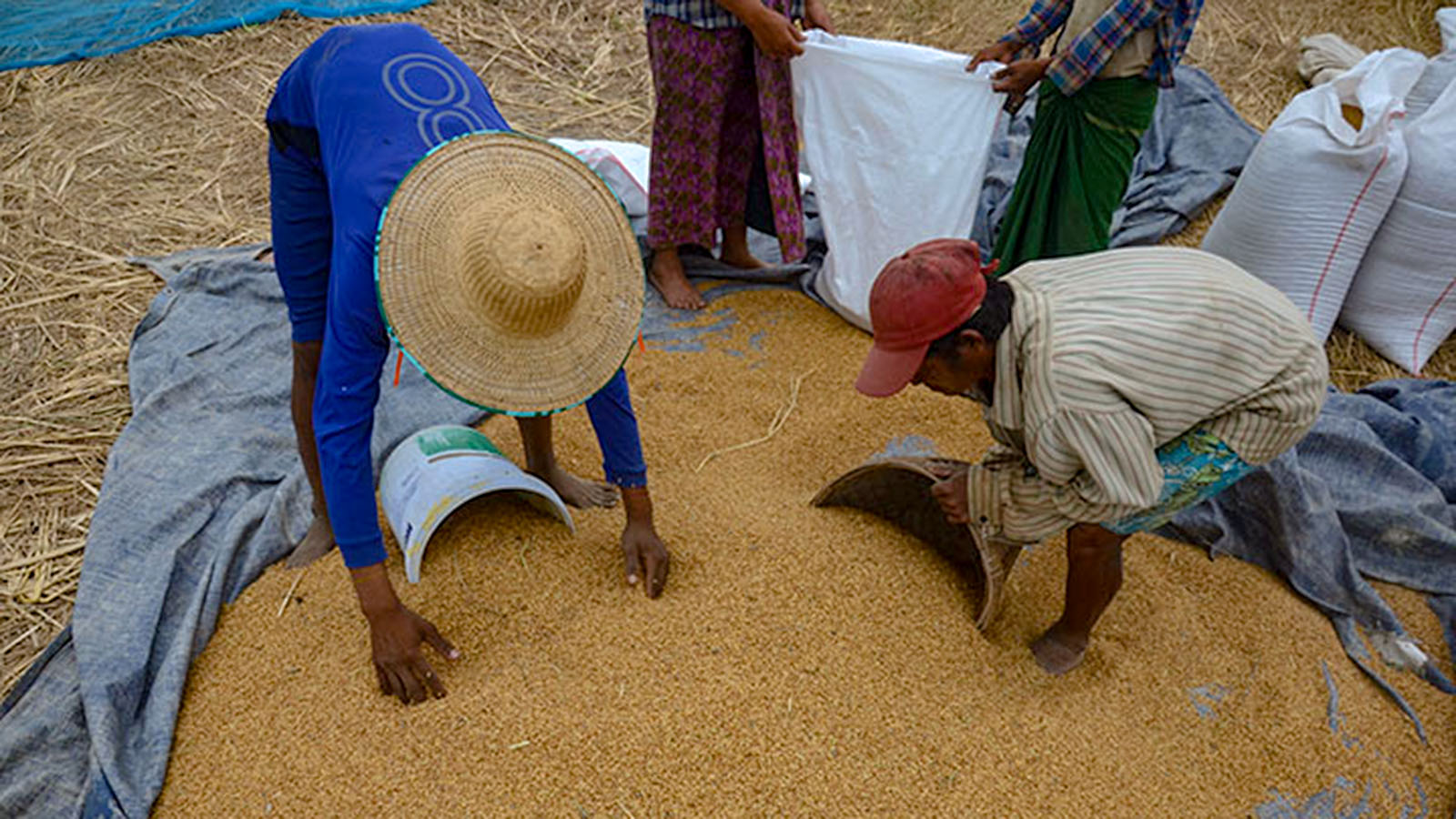 Workers gathering and scooping unhusked rice into sacks at their farm in Ayeyawaddy Region.   Photo: Phoe Khwar