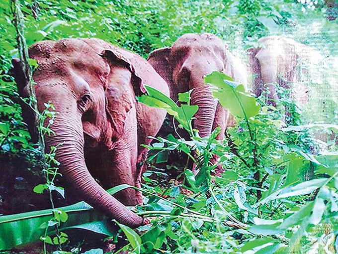 A herd of wild elephants raid villages in search of food in Bokpyin Township.Photo: Myint Oo (Myeik)