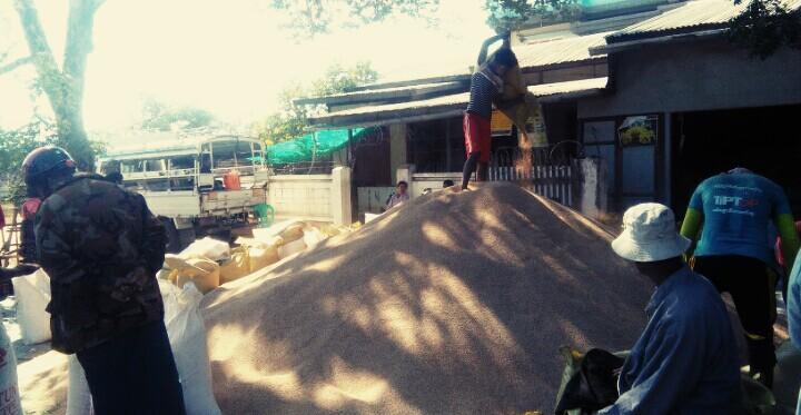 Farmers collecting sesame near a warehouse in Sagaing.Photo: Aung Soe Phay (Myinmu)
