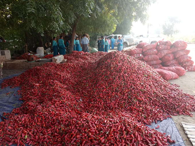 Chilli pepper is a major crop of the villages located along the Pakkoku-Myitchay Road.  Photo : Ko Tamar (IPRD)