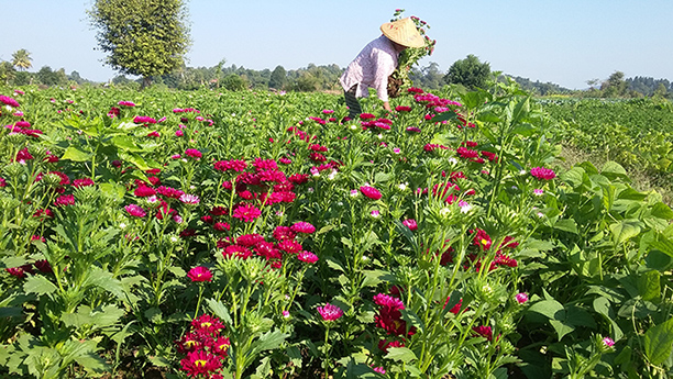 A farmer picks flowers up in her garden in Maymyo. Photo: Myint Tun Min (IPRD)