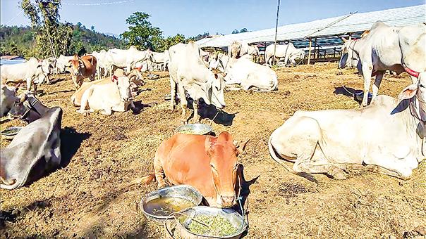 Cattles in the animal disease surveillance station near Pakyu Village in Kutkai Township. Photo: Thant Zin
