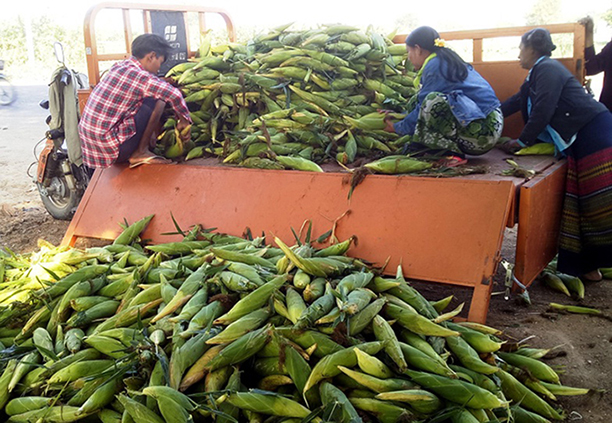 Farmers unloading the corns from the back of the truck at a distribution depot in NyaungU Township.   Photo: ko htein