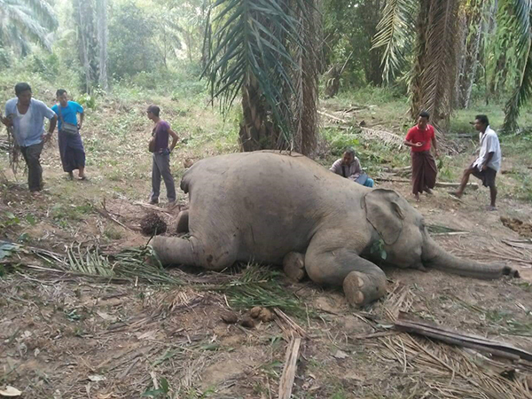 An elephant was found dead with its tail sliced off in Bokpyin Township on 15 January.  Photo: Myint Oo (Myeik)