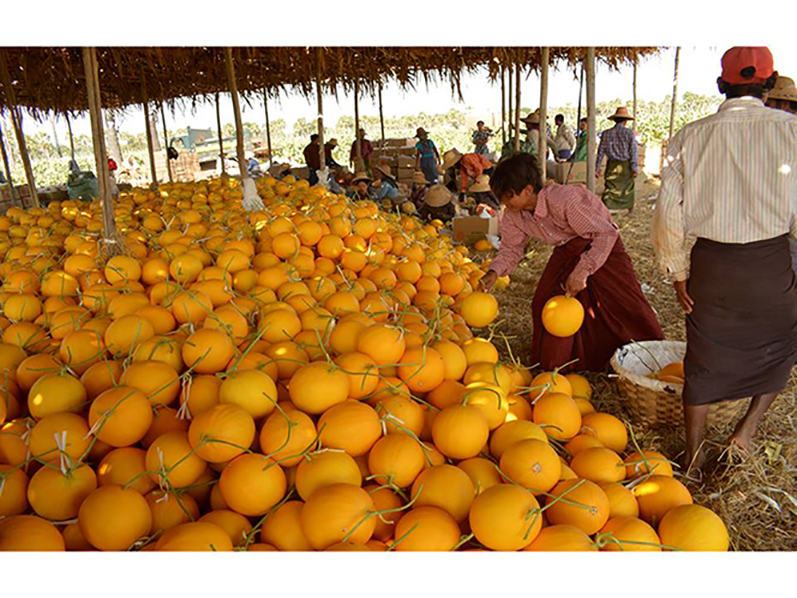 Farmers collecting melons for sell whereas fruits with export criteria are distributed in the domestic market. Photo: Win Oo (Zayartine)