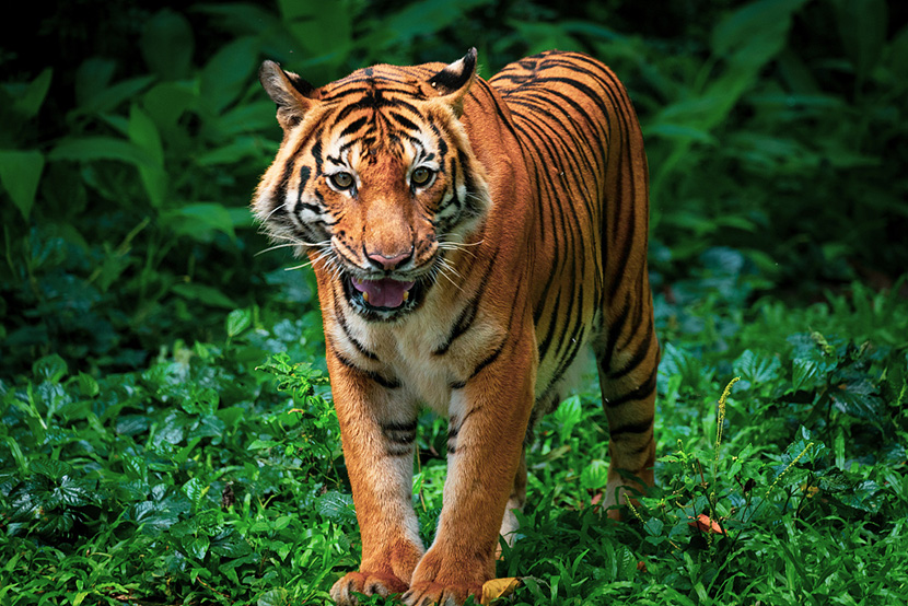 The photo released by the Ministry of Natural Resources and Environmental Conservation (MNREC) at the World Tiger Day in Nay Pyi Taw last year.Photo: Supplied