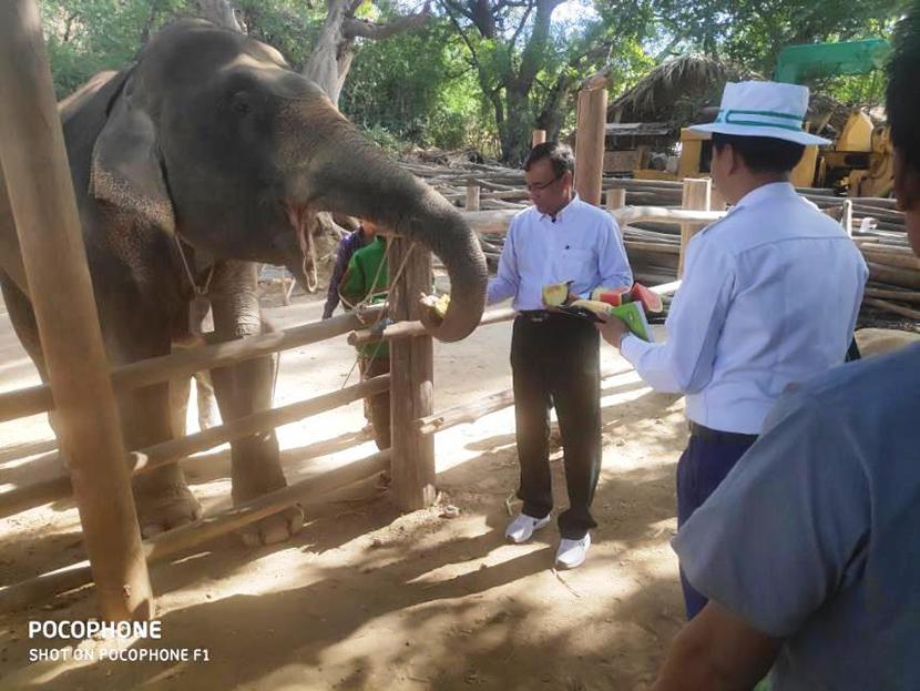 Union Minister U Ohn Win feeding an elephant at the elephant camp in NyaungU Township, Mandalay Region yesterday.Photo: MNA