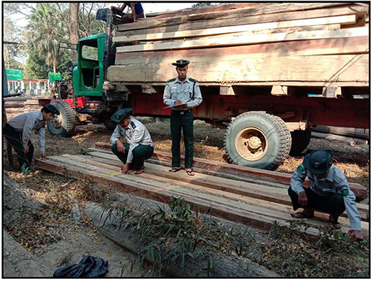 Forest officials check illegally cut teak logs. Photo : Nyi Nyi Than (Nay Pyi Taw)