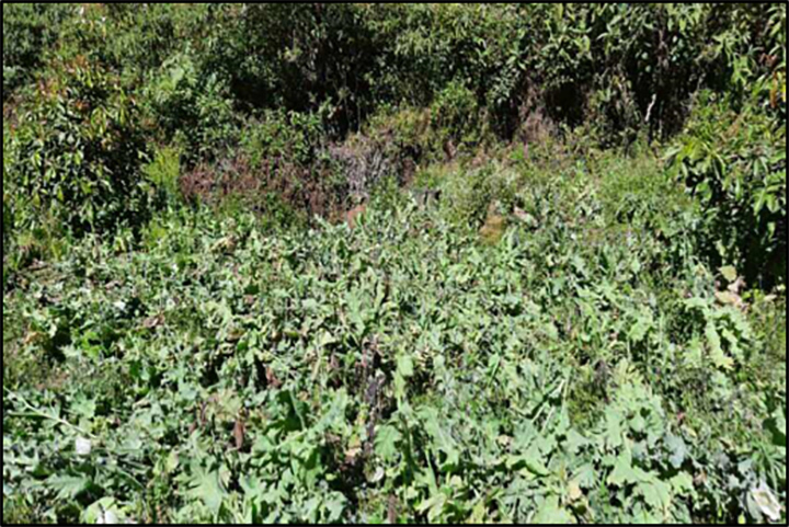 Opium poppy plants growing in Tangyan, Shan State.  Photo: MPF