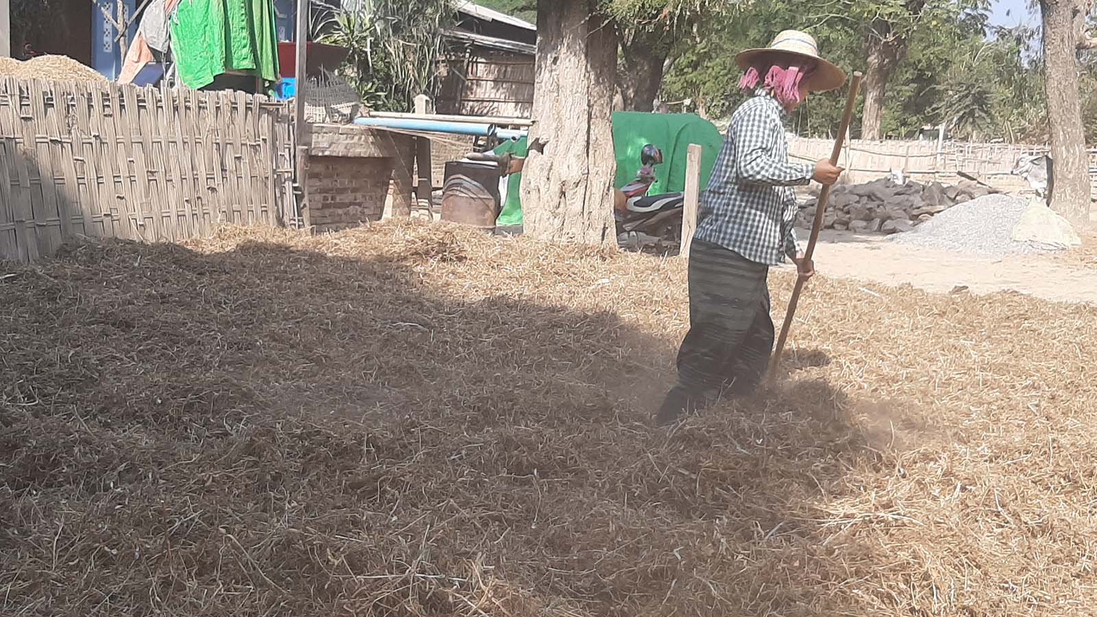 Local farmers are unhappy with the falling prices of fermented soya bean in Ngazun Township in Myingyan District. Photo: Tin Zar Hlaing