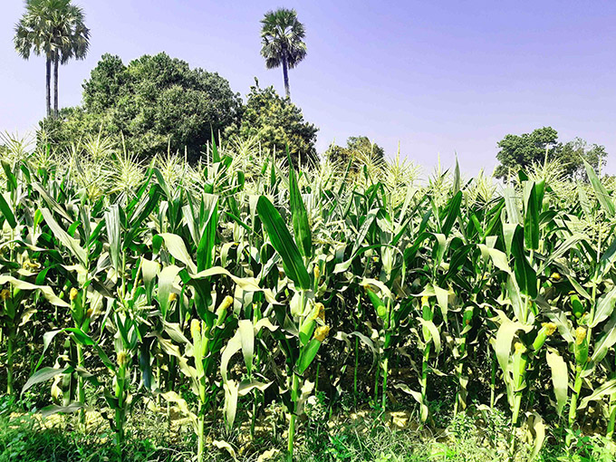 Thriving maize in Pwintphyu Township, Magway Region.  Photo: Ye Win Naing (NyaungU)