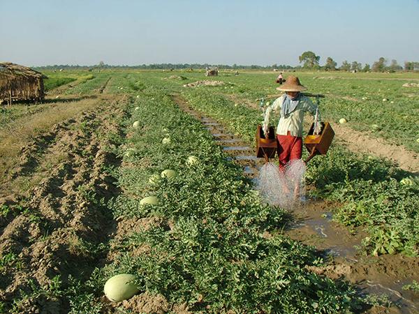 A farmer watering plants in a watermelon farm in Nay Pyi Taw. Photo: GNLM