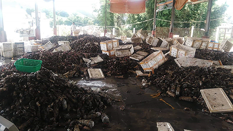 Seafood exports cause a lot of losses due to China's border trade suspension. Photo: Salai Van Ro Thang (IPRD)