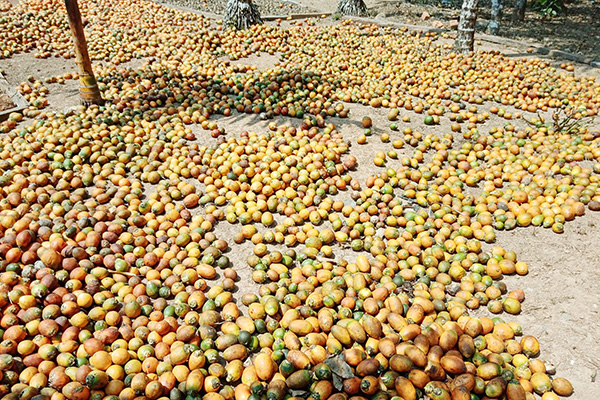 Areca nuts seen in a farm in Bokpyin. Photo:    Soe Win (IPRD)