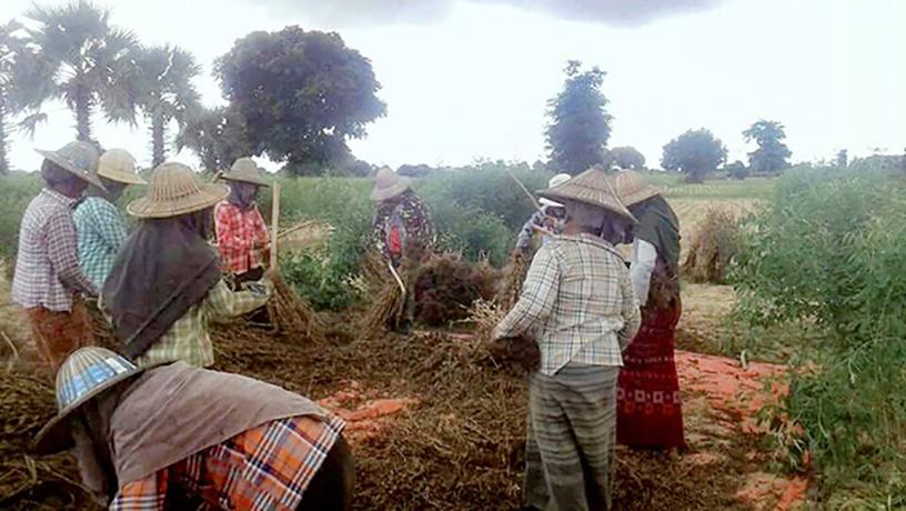 Farmers harvest sesame in Magway. Photo: Zeyatu (Magway)