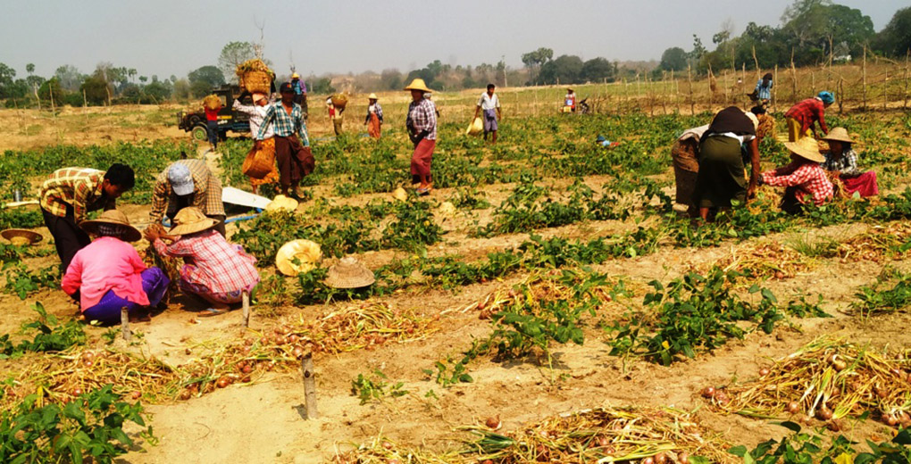 Farmers planting the onions in a farm in Kyaukpadaung Township. Photo: Ko Htein (Ngathayouk)