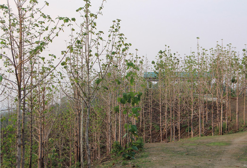 Commercial teak is seen under cultivation in Seikpyu Township.photo: Ko Zwe (Ah Nyar Myay)