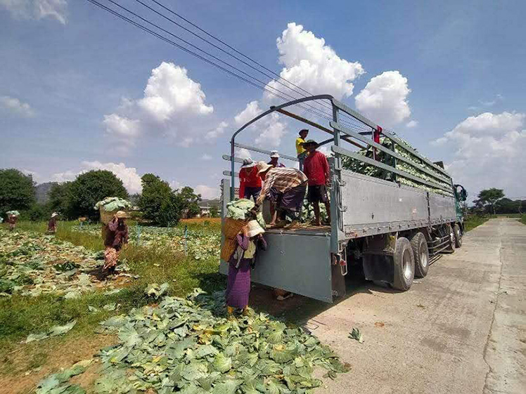 due to market decline and had to distribute their produce to people free of charge in some occasions.  Photo: Sandar Myo