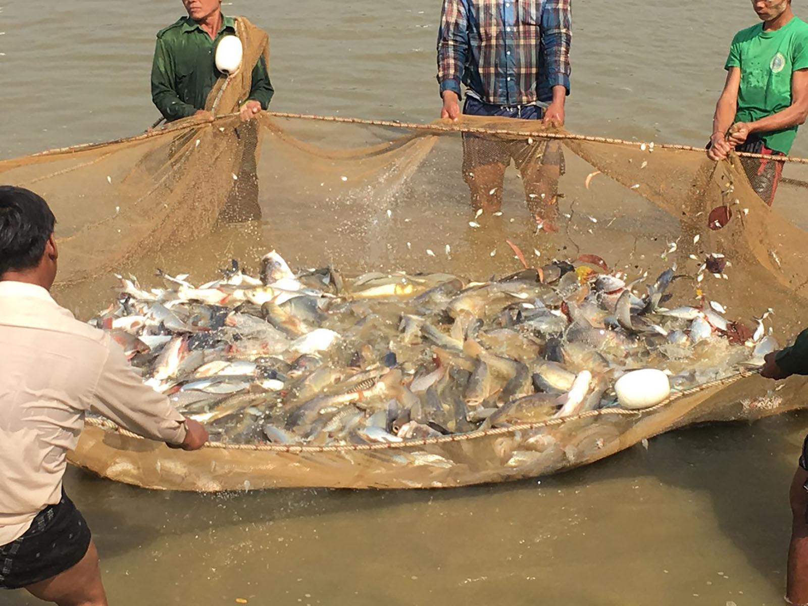 Local fishermen catch fish in a fishing net in Ayeyawady Region.Photo: Than Htike