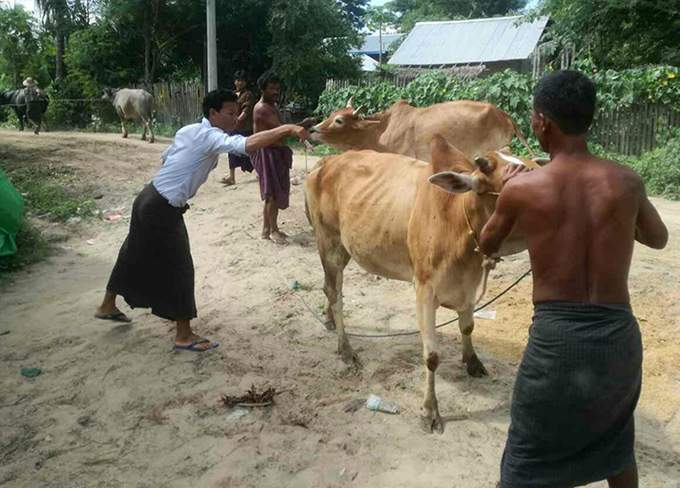 Export of cattle granted to benefit local breeders in Magway region