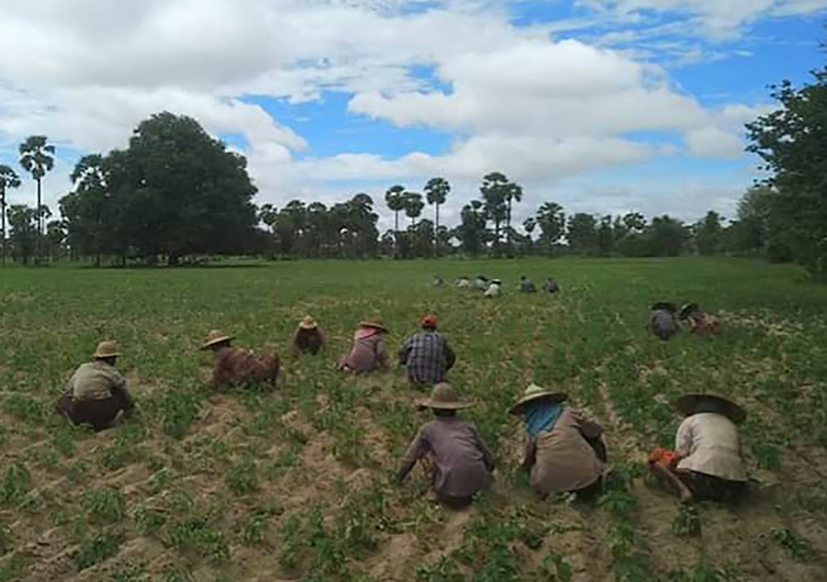 Workers are seen in a farm in Magway Region. Photo : Zayyatu (Magway)