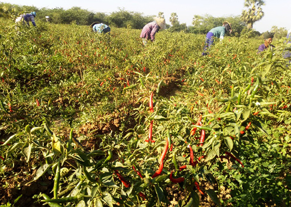 Women harvest chillies in a farm in Kyaukse Township, Mandalay Region. Photo : Ko Htein (NGathayauk)