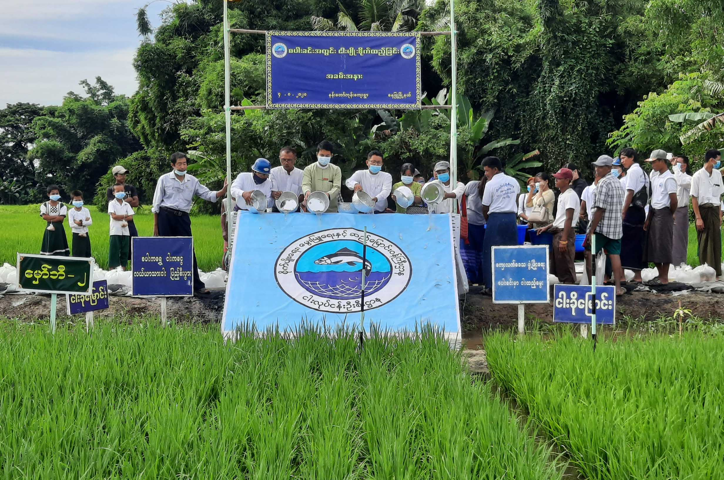 Fingerlings released into 220 acres of paddy field in Danubyu