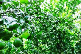 Lemon growers upset with low demand despite high yield