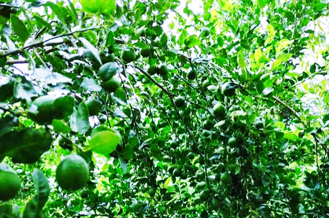 Lemon price drops in the local market despite high yield this year. PHOTO: Aung Soe Pe (Myinmu)