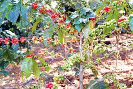 Coffee association expects export market recovery in coming months