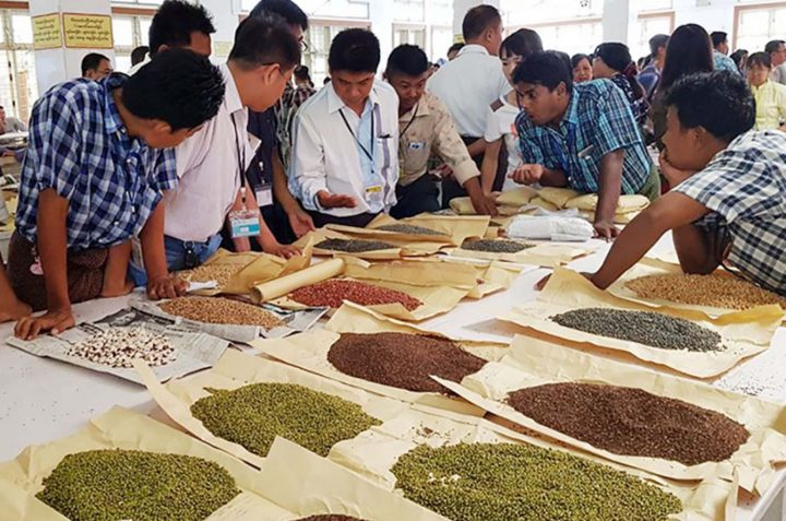 Merchants are evaluating prices of various kinds of bean at the bean and pulses wholesale centre in Mandalay. File Photo/gnlm