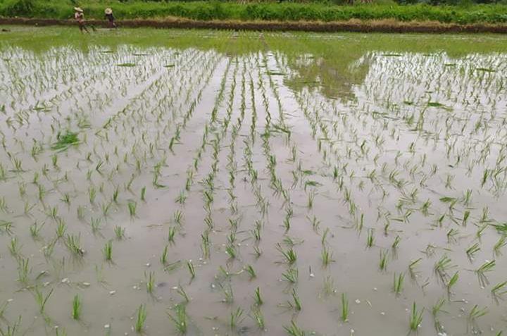 rain rice 1 0