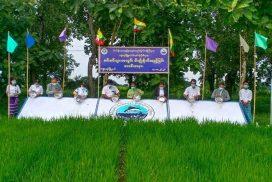 69,000 fingerlings released into paddy fields in Kyonpyaw