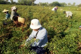 Chilli growers earn high profit