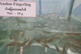 Myanmar eyes US fish market with local fisheries exports