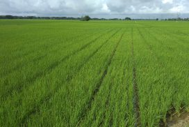 Contract farming covers over 100,000 acres of monsoon paddy this year
