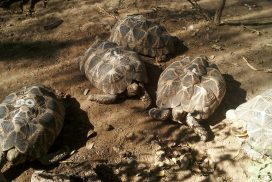 Myanmar endangered star tortoises at Minzontaung Wildlife Sanctuary
