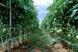 Crop growers face difficulties despite high yield in COVID-19 period