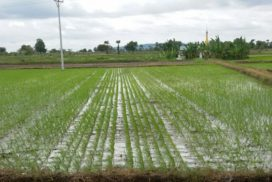 Sagaing Region to grow 375,000 acres of summer paddy