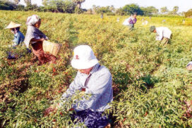 Pwintbyu chilli growers get great profit from high yield