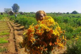 Chrysanthemum growers face financial hardship amid COVID-19 crisis