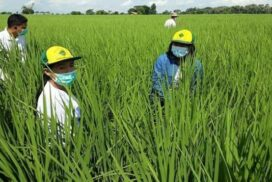 4,000 acres of Shwebo Paw San paddy grown under GAP system